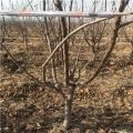 美国樱桃树苗价格、美国樱桃树苗多少钱一棵