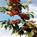 山东俄八樱桃苗、山东俄八樱桃苗多少钱一棵