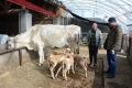 母牛饲料配方和饲养方法