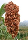 收购大量优质高粱、大豆、棉粕