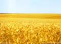 华联酒厂求购玉米小麦碎米高粱等酿造原料