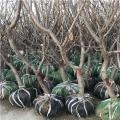 红蜜大樱桃树苗、哪里有红蜜大樱桃树苗、红蜜大樱桃树苗价格多少