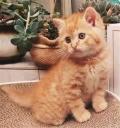 2个月的中华田园猫猫咪一只