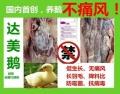 鹅痛风用绿风宁防治方法及浆膜炎大肠杆菌的影响