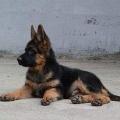 3-4个月罗威纳犬幼崽好喂养吗 小罗威纳犬价格
