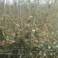 8公分樱桃苗、8公分樱桃树苗、8公分樱桃树苗基地