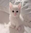 出售2月大的家猫猫咪幼崽