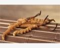 丽江哪里回收冬虫夏草(虫草)价格XIV丽江哪里回收冬虫夏草