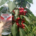 山东红冠大樱桃苗、山东红冠大樱桃树苗价格
