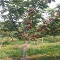佳红樱桃树苗出售、佳红樱桃树苗基地
