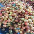 马哈利大樱桃树苗批发、马哈利大樱桃树苗多少钱一棵