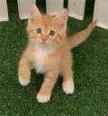 出售1个月大的家猫猫咪